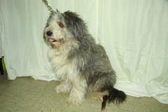 Bearded-Collie 1