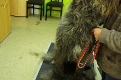 Irisch Wolfshund 1 erster Tag bei der neuen Hundehalterin. Gerettet