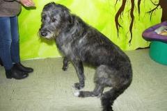 Irisch Wolfshund 3