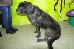 Irisch Wolfshund 4